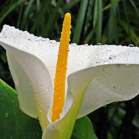 Touch of white by Karen Noble - Flowers Single Flower (  )