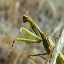 European mantid