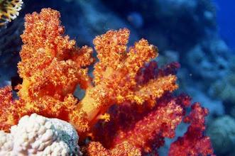 Photo: Alcyonaires en Mer Rouge.