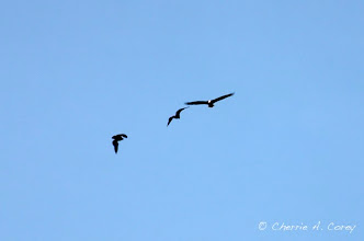 Photo: Bald eagles