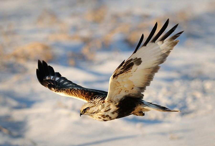Light Morph/Phase Rough-Legged Hawks by Rob McKay - Animals Birds ( birds of prey, light phase rough-legged hawk, avian, hawks, birds, raptors, predators )