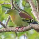 Ashy-headed Green Pigeon