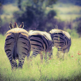 Black and white in nature  by Mariesa Taljaard - Animals Other Mammals ( zebra, stripes, nature, black and white, three,  )