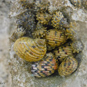 Four-Toothed Nerite Snails