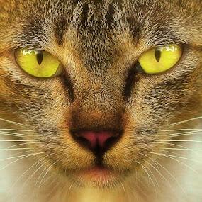 cat eyes by Yan Abimanyu - Animals - Cats Portraits