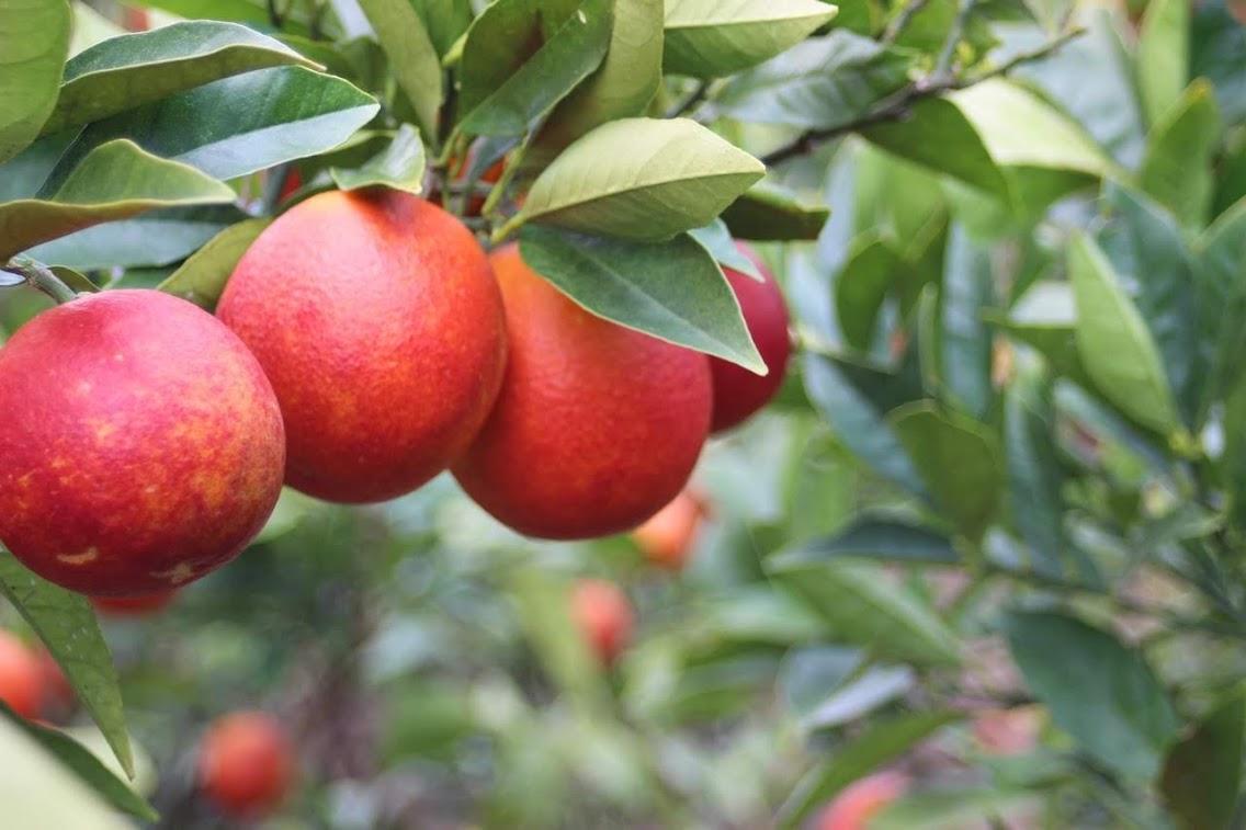 2020年産ブラッドオレンジ「モロ」販売のお知らせです。