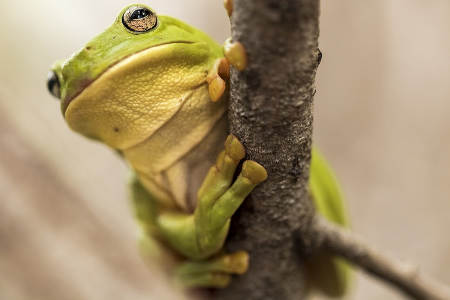 Gorgeous Green frog from the bog by Clarissa Human - Animals Amphibians ( macro photography, frog, nature up close, green frog, close up, amphibians, eyes,  )