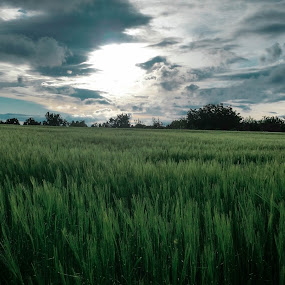 Wheat field by Antonio Knezevic - Landscapes Prairies, Meadows & Fields ( sky, field, wheat, sun, lightroom )