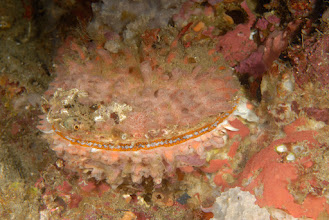 Photo: Spondylus varians Thorny Oyster