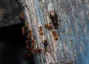 Photo: Lasius flavus  Hymenoptera > Formicidae