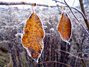 Photo: two leaves hanging on a twig