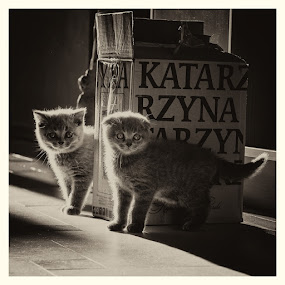 by Anna Trandeva - Animals - Cats Kittens ( baby, young, animal,  )