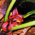 Red-eyed treesnake