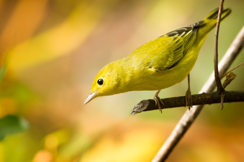 Photo: Yellow Warbler - Laffite's Cove Fall 2013