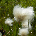Red Cottongrass