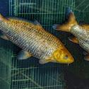 Common Carp / Carpa-Comum