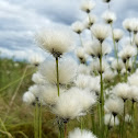 Tussock Cottongrass