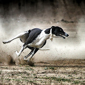 Daboo by Abdul Rehman - Animals - Dogs Running ( hungary, hunter, dust, greyhound, running )