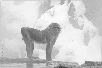 Photo: http://nfbild2.blogspot.se/2016/04/snow-monkey.html