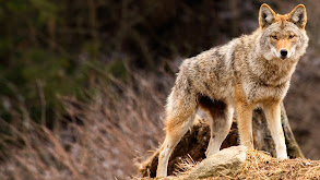 Coyote Army thumbnail