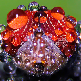 the red eye by Miswar Rasyid - Animals Insects & Spiders (  )