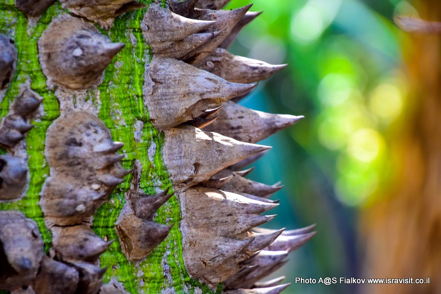 Колючки бутылочного дерева. Сад кактусов в парке Яркон Тель-Авива. Фото гида в Тель-Авиве Светланы Фиалковой.