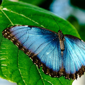 Blue Butterfly by Robert Smith - Animals Insects & Spiders ( butterfly, start: 07/03/2016, blue, end: 07/08/2016,  )