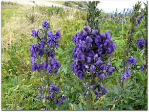 Photo: aconitum napellus (Blauer Eisenhut) - Fundort: Rax