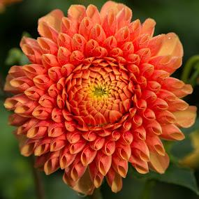 Orange Daisy by Merina Tjen - Lim - Nature Up Close Flowers - 2011-2013 ( daisy; dahlia; orange; blooming; canon )