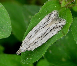 Photo: Anarsia lineatella  Pge  Lepidoptera > Gelechiidae