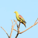 Grey fronted green Pigeon