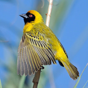 Ploceus cucullatus. by Lorraine Bettex - Animals Birds (  )