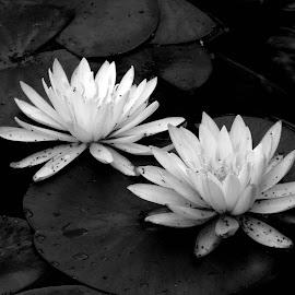 Water Lilies by Rita Goebert - Black & White Flowers & Plants ( summer flowers; water lilies; canandaigua; new york; sonnenberg gardens,  )