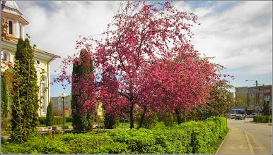 Photo: Măr decorativ (Malus Royalty)  - din Turda, Aleea Plopilor - 2019.04.15