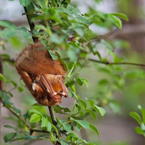 Red bat by Tiffany Bailey - Animals Other Mammals