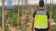 Nueva operación de la Policía Nacional contra el cultivo de marihuana.