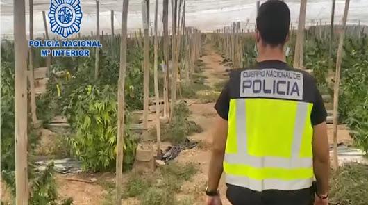 Más de 5 toneladas de marihuana encubiertas bajo un cultivo de cáñamo industrial