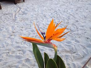 Photo: Bird of Paradise flowers grow naturally here