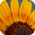 Sunflower Wallpapers APK