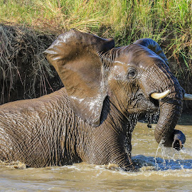 Elephant in the water. by Dirk Luus - Animals Other Mammals ( water, elephant, wildlife, mammal, animal )