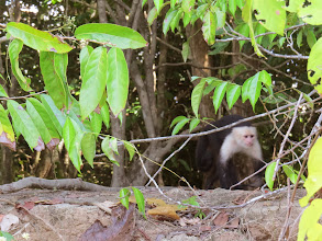 Photo: White-faced Capuchin Monkey