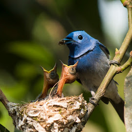 Hungry Monarch by Mohammad  Hasan - Animals Birds ( outdoor, hungry, bird, asia, rajshahi, babies, bangladesh, food, monarch )
