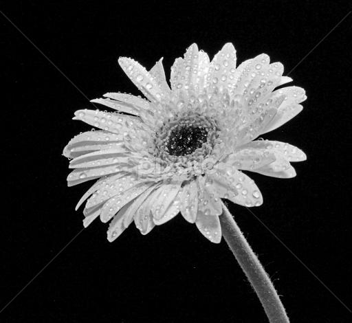 black and white flower photography joy studio design