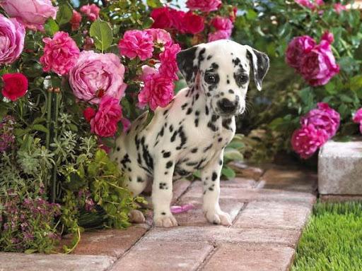 Dalmatians Images