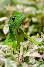 Photo: Green (Common) Iguana (juvenile) @ Tiki Villas Lodge, Uvita