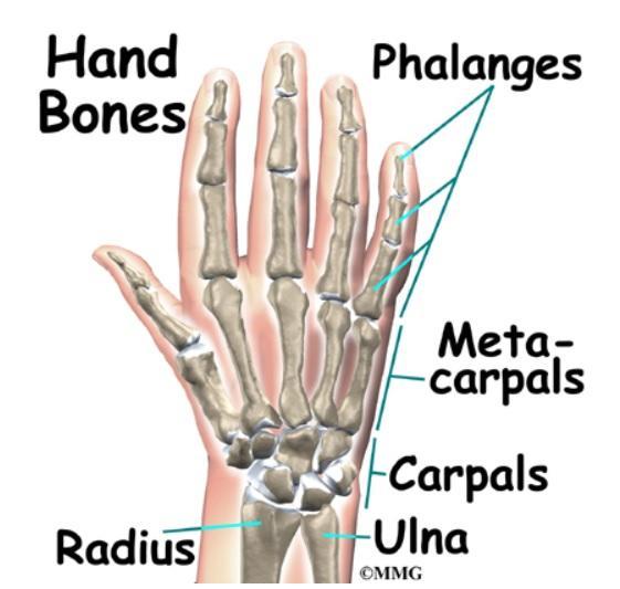 C:\Users\mohit\Desktop\Hand anatomy.jpg