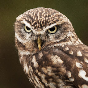 The Look by Russell Mander - Animals Birds ( big eyes, little owl, deadly look, eats worms & insects )