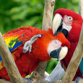 Lovers by George Bloise - Animals Birds ( love, tropical colors, two, red, blue, macaws, rainbow colors )