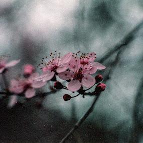 Pink Tree Blossom by Scott Morgan - Flowers Tree Blossoms ( tree blossom, dark, dark background, bloom, pink, flower, blossom,  )