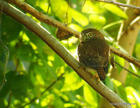 Photo: Ferruginous Pygmy-Owl; Peso Island, across Estero del Pozo from San Blas